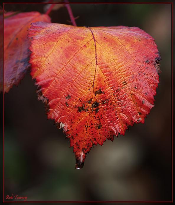Blackberry_leaf_5544