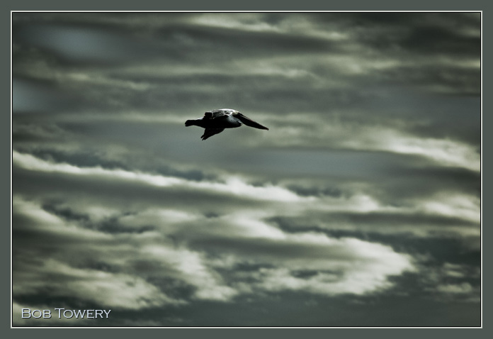 Pelican-9213
