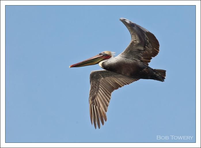 Pelican-9217