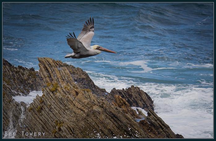 Pelican-1462