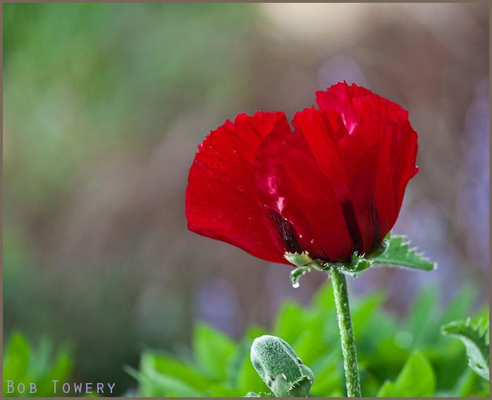 Redpoppy-2148