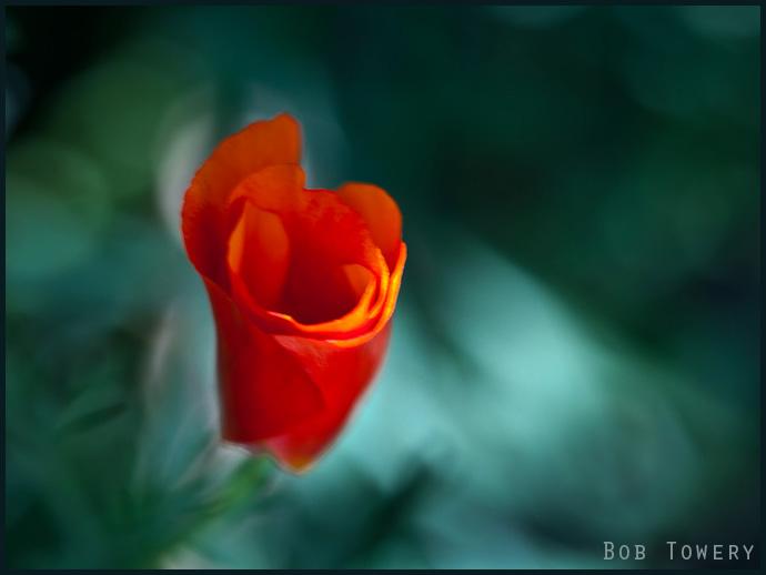 Poppy-4046