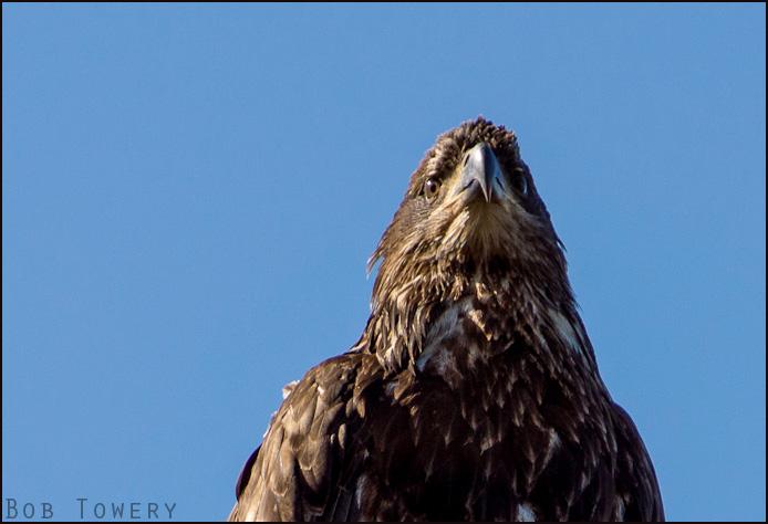 Eagle-00493
