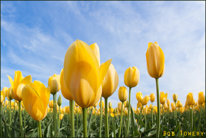 Tulipsyellow-1973