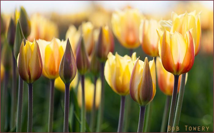 Tulips-2139