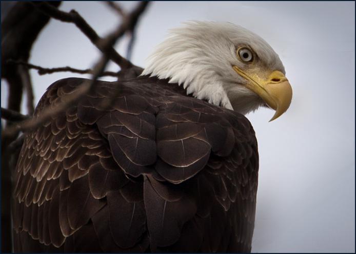 Eagle-1264