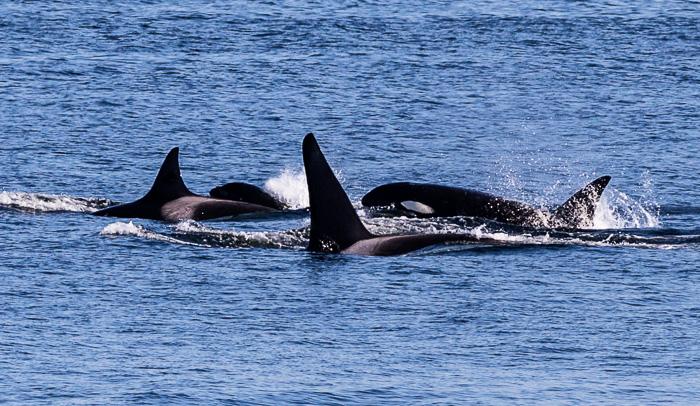 Orcas-1449