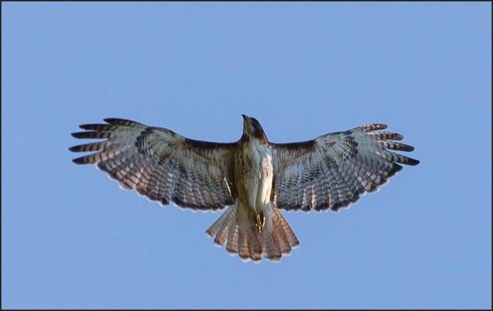 Hawk-9972