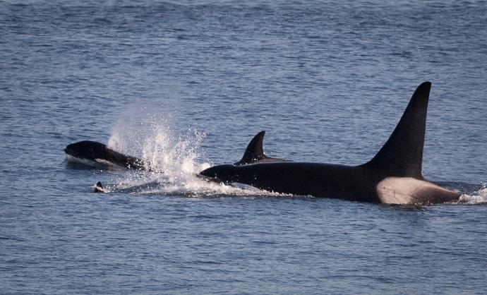 Orcas-1445
