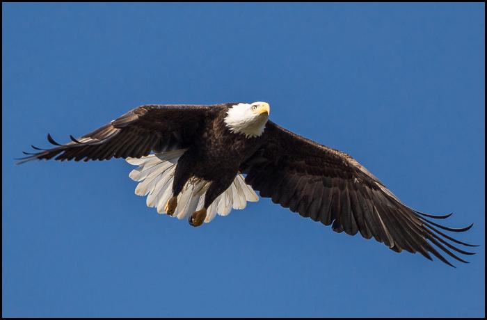Eagle-1499