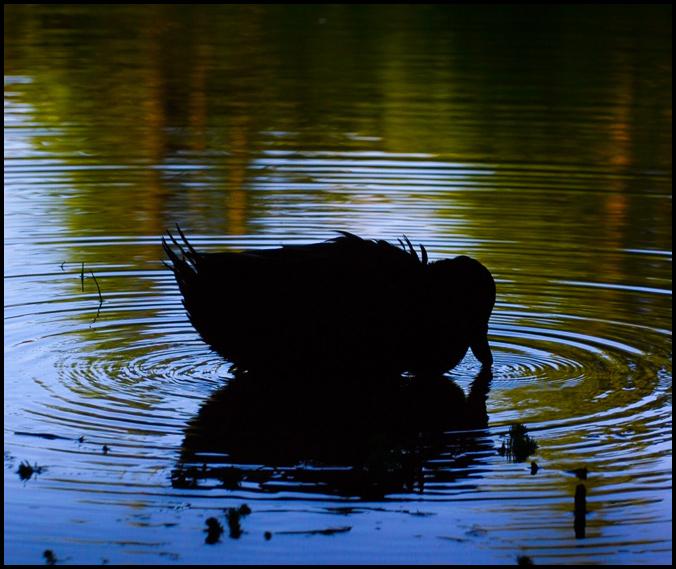 Duck-6316
